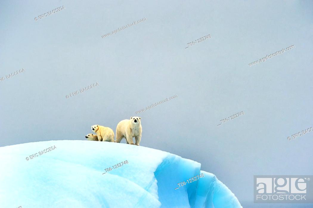 Stock Photo: Female polar bear Ursus maritimus and her two cubs on an iceberg off Baffin Island  Nunavut, Canada.