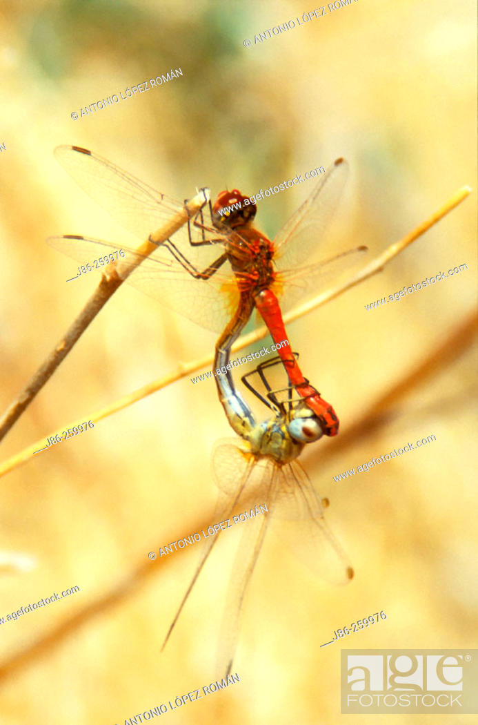 Stock Photo: Common Darter (Sympetrum striolatum), pair mating.