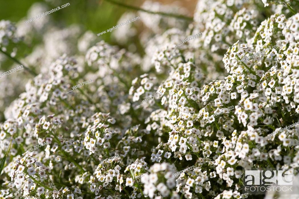 Stock Photo: sweet alyssum.