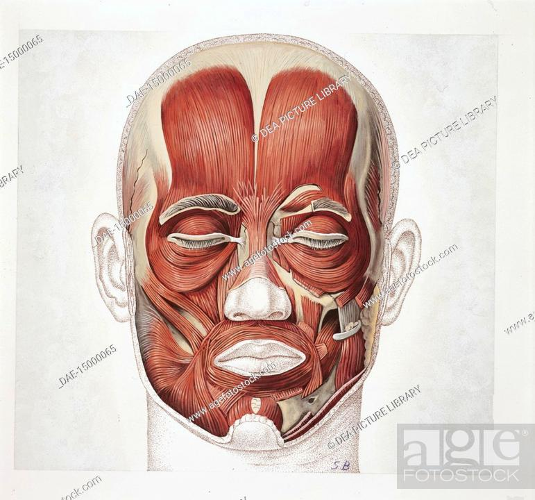 Medicine Human Anatomy Face Muscles Drawing Stock Photo Picture