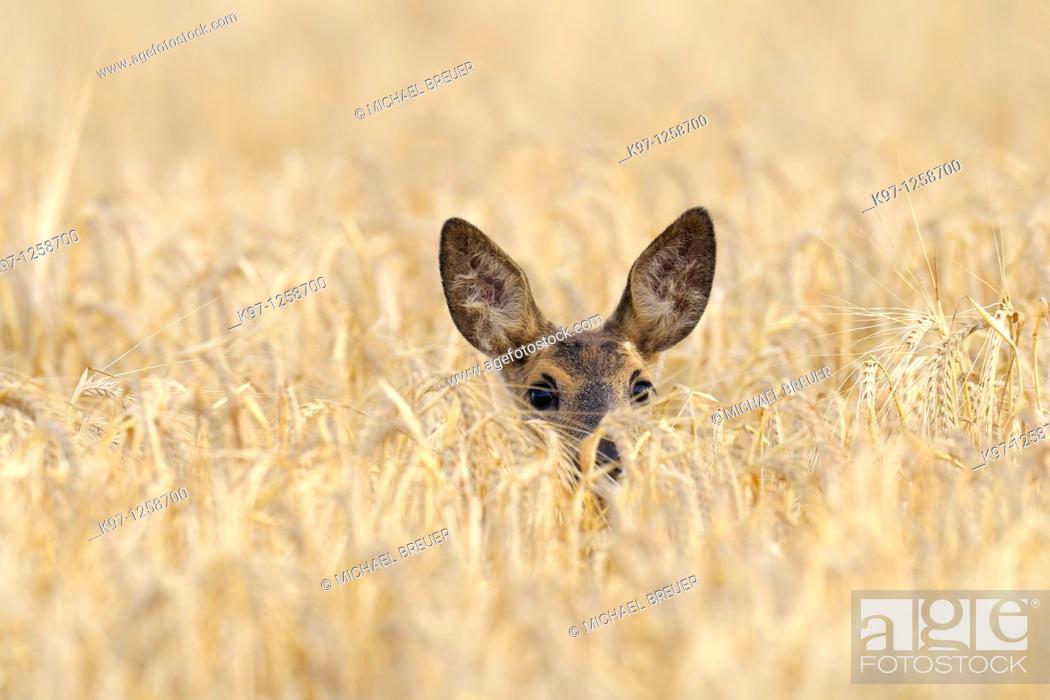 Stock Photo: Roe deer in grain field, Capreolus capreolus, Summer, Germany, Europe.