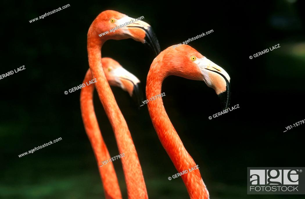 Stock Photo: Chilean Flamingo, phoenicopterus chilensis, Group of Adults.