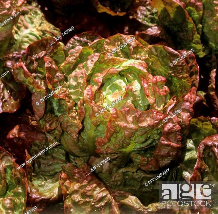 Stock Photo: red lettuce.