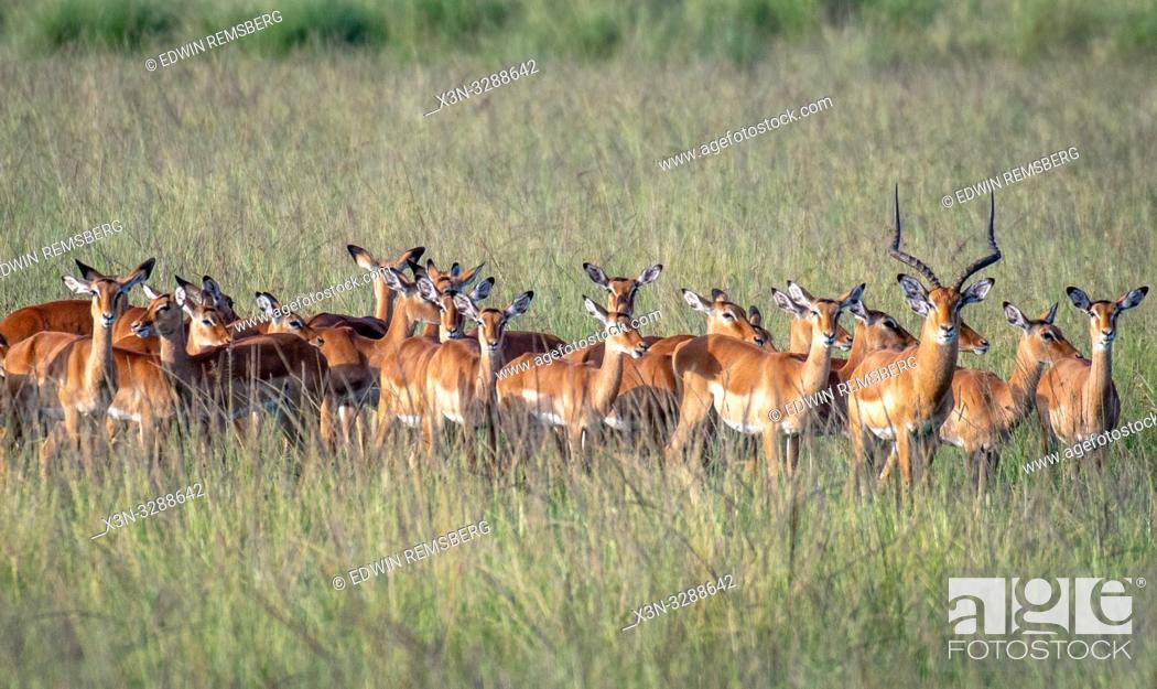 Stock Photo: Maasai Mara Impalas (Aepyceros melampus) gathered together in the field at the Maasai Mara National Reserve, Kenya.