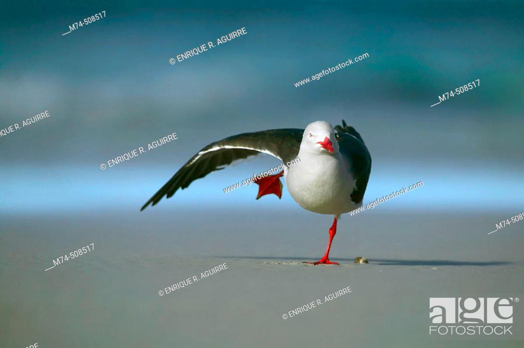 Stock Photo: Dolphin gull (Larus scoresbii). Falkland Islands, South Atlantic.