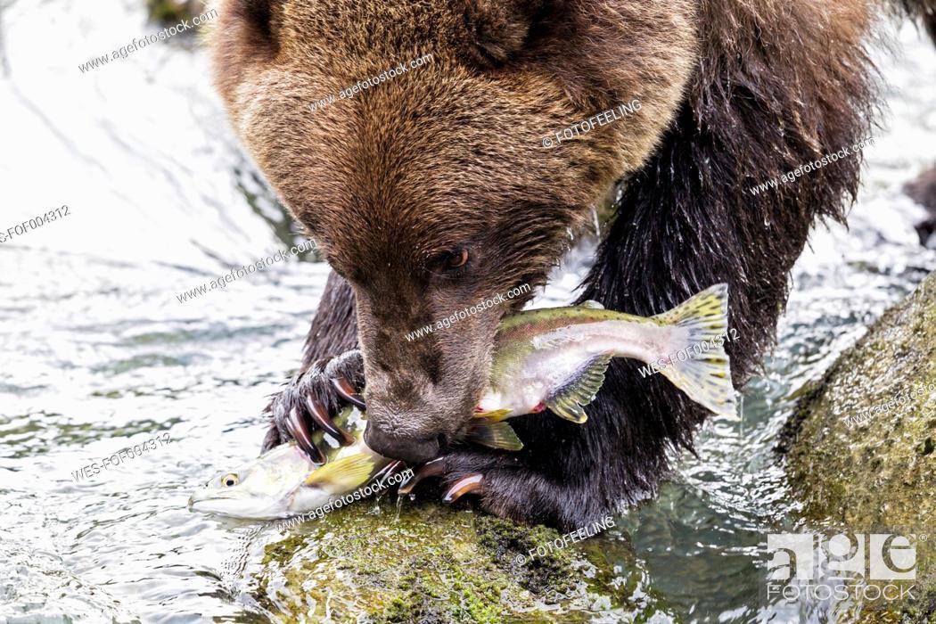 Stock Photo: USA, Alaska, Brown bear eating salmon at Chilkoot Lake.
