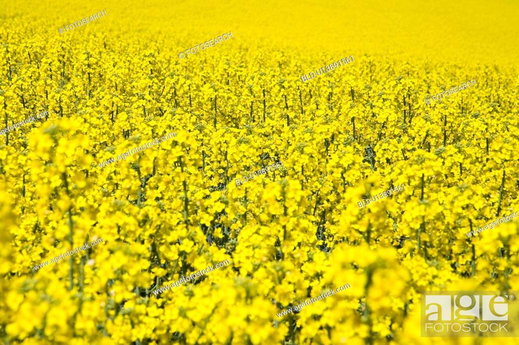 Stock Photo: Canola field.