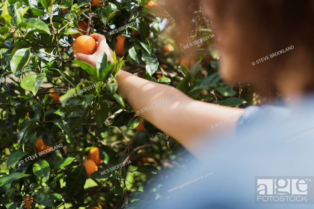Stock Photo: Woman picking oranges from tree in in garden.