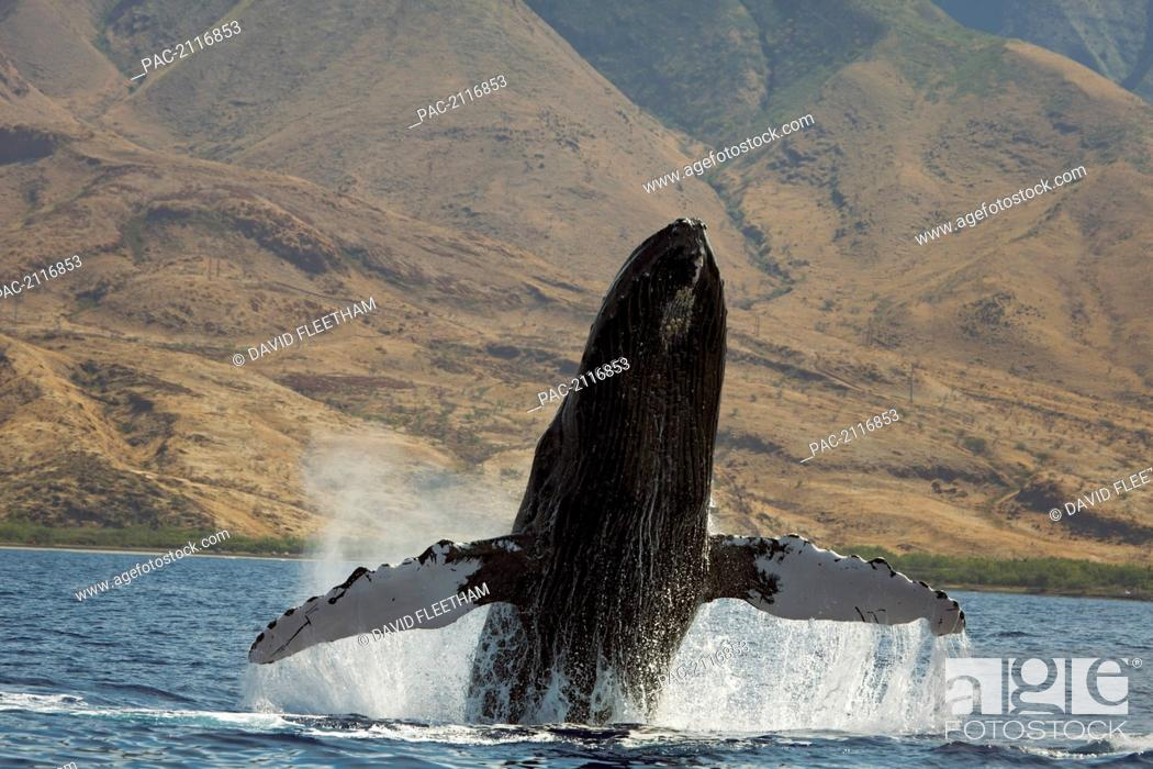 Stock Photo: Hawaii, West Maui, A Humpback Whale (Megaptera Novaeangliae) Breaches, Propelling Its Body From The Ocean.