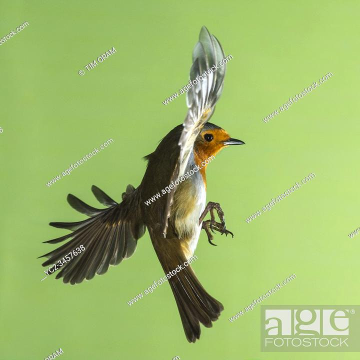Stock Photo: A Robin (Erithacus rubecula) photographed using High speed flash in free flight in the Uk.