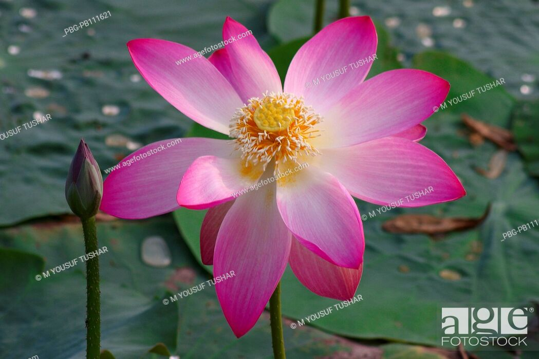 Imagen: Lotus, Nelumbo nucifera, locally known as Padma, is an aquatic nymphaceous plant, found in the low lands of Bangladesh Local Hindu communities extensively use.