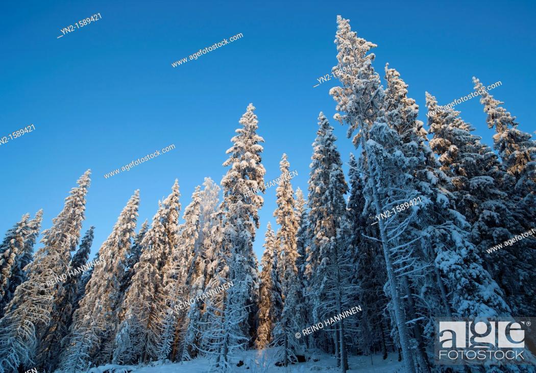 Stock Photo: Spruce  picea abies  forest at Winter, LocationSuonenjoki,Finland,Scandinavia,Europe.