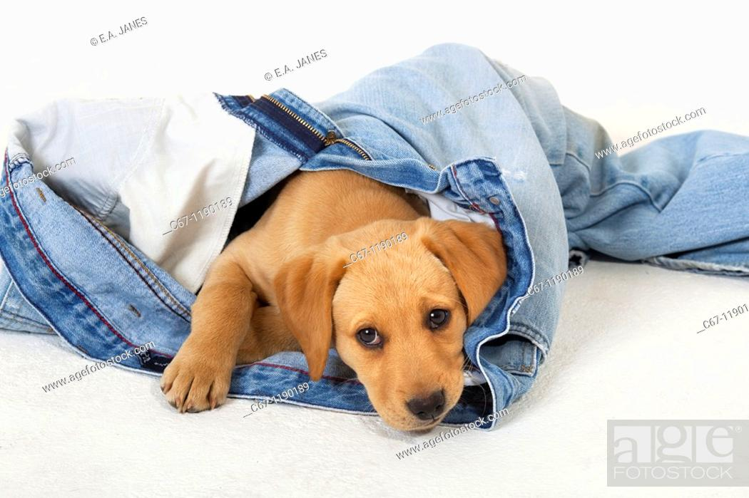 Stock Photo: Yellow Labrador Puppy playing withold jeans.