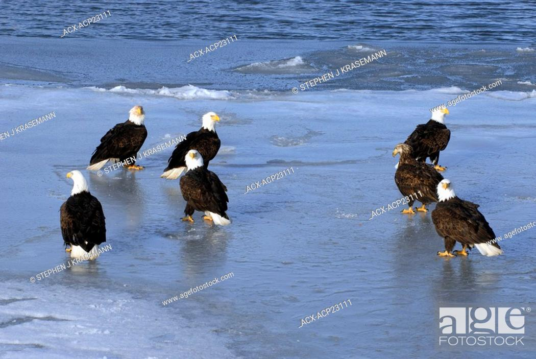 Stock Photo: Gathering of Bald Eagles Haliaeetus leucocephalus on frozen shoreline, Kachemak Bay, Homer, Alaska, USA.