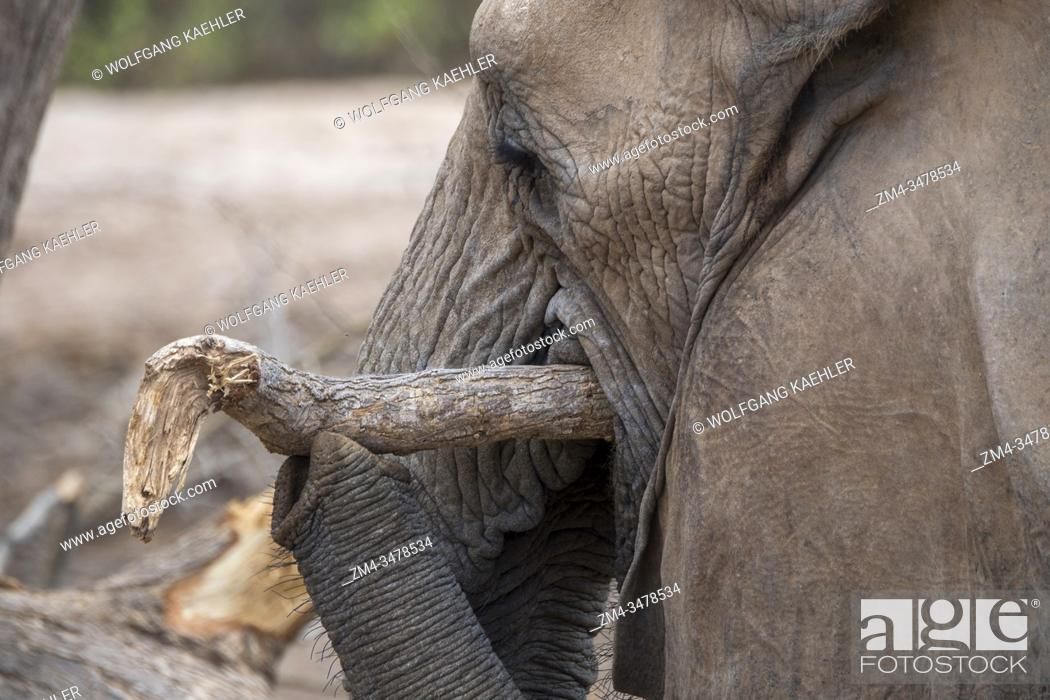 Stock Photo: Close-up of an African elephant (Loxodonta africana) feeding on branches of a tree in the Huanib River Valley in northern Damaraland/Kaokoland, Namibia.