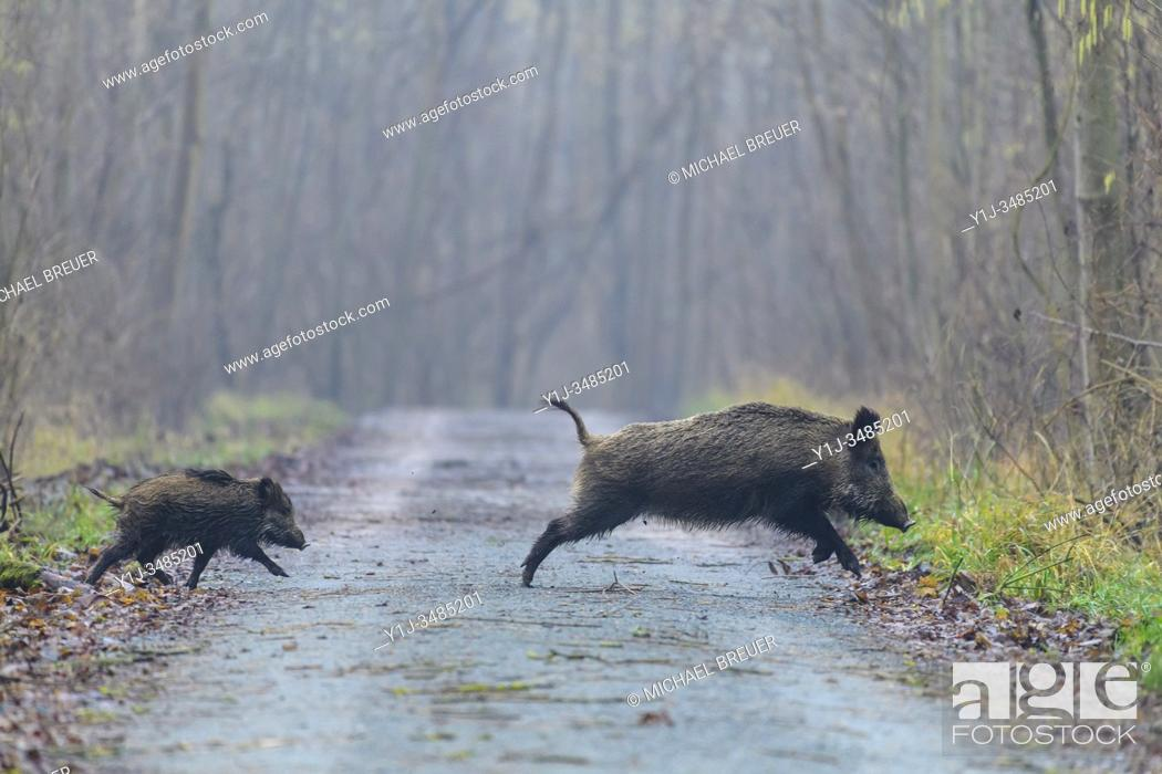 Stock Photo: Wild boars (Sus scrofa), Female with young, Hesse, Germany, Europe.