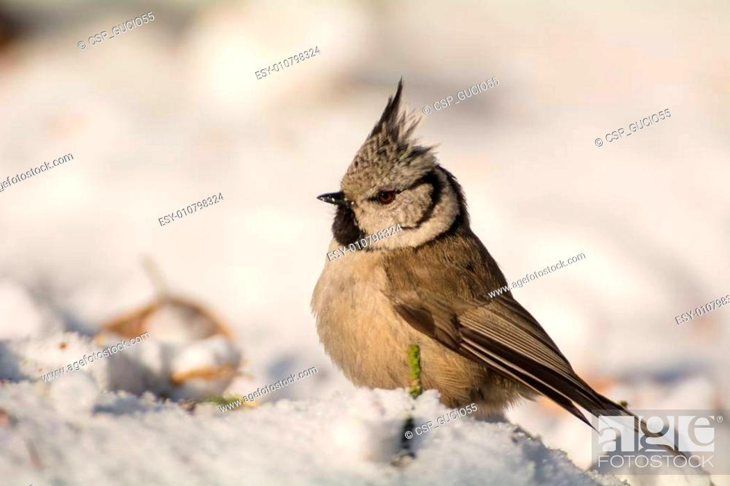 Stock Photo: Crested tit.