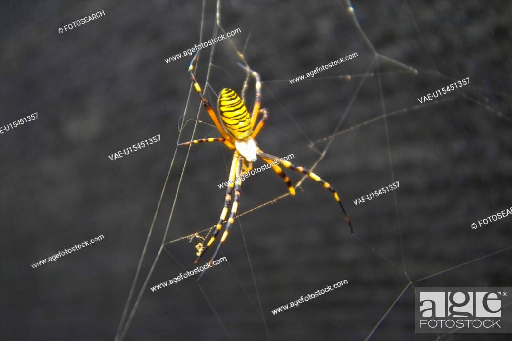 Stock Photo: anthropoda, insect, anthropods, arthropod, animal, spiders, spider.