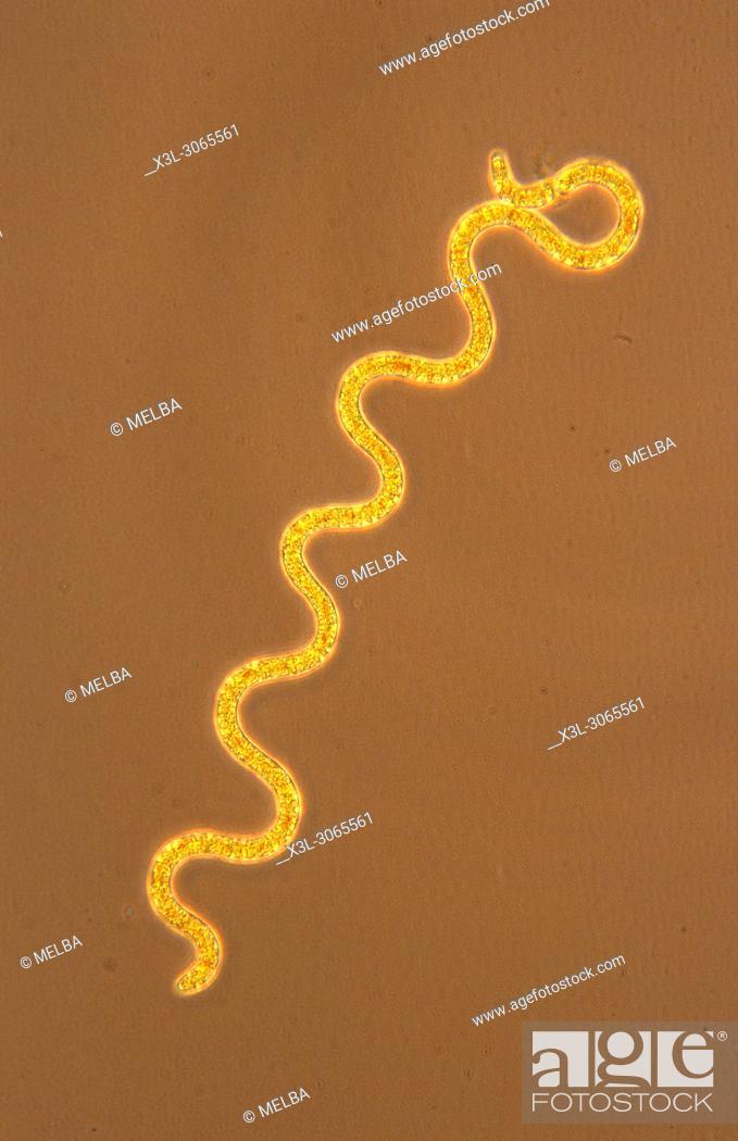 Stock Photo: Spirulina sp. Cyanobacteria. Prokaryotes. Optic microscopy.