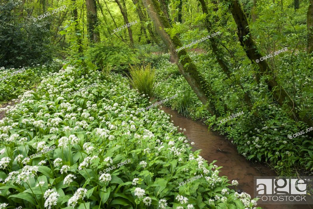 Stock Photo: Ramsons or Wild Garlic (Allium ursinum) in spring at Paradise Bottom in Leigh Woods near Bristol, North Somerset, England.