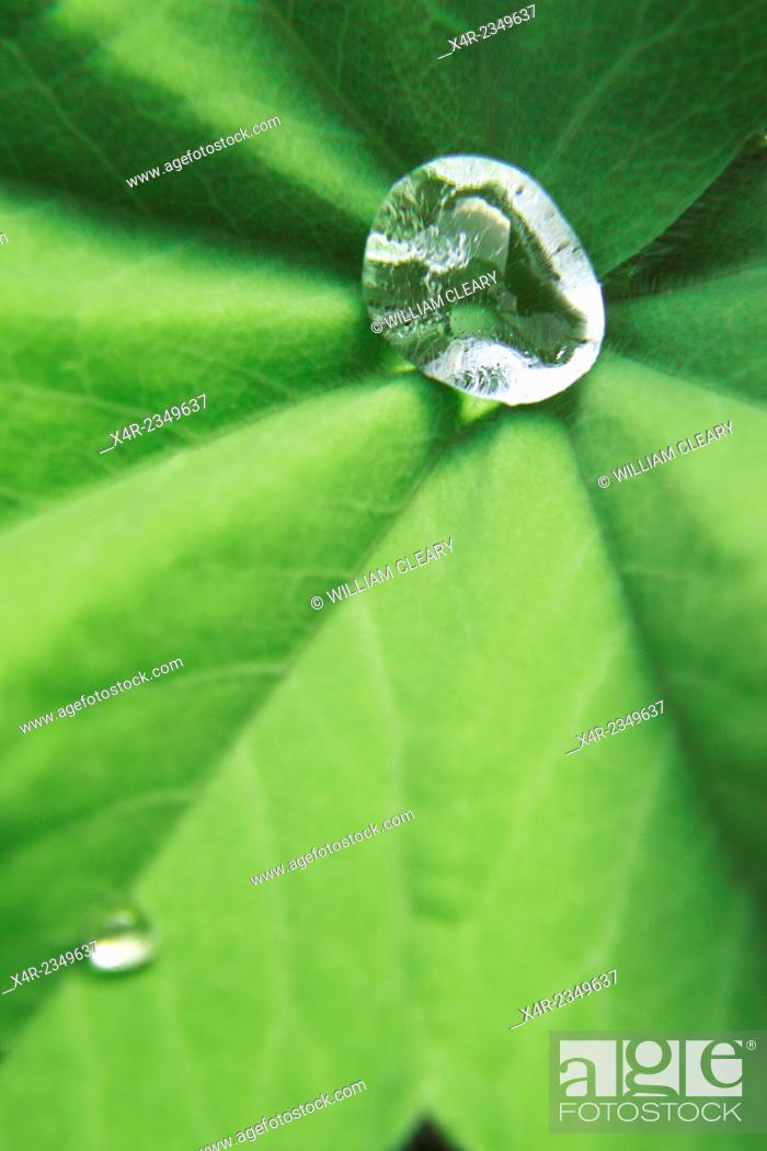 Stock Photo: Water droplets on a leaf.