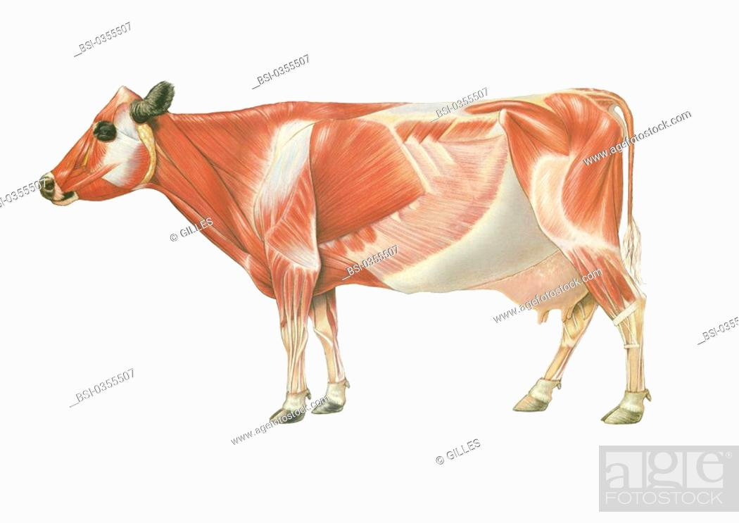Cow Anatomy Drawing Stock Photo Picture And Rights Managed Image