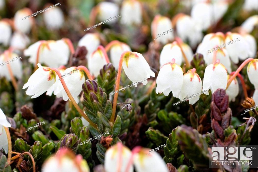 Stock Photo: Arctic bell-heather or White Arctic Mountain Heather (Cassiope tetragona), Spitsbergen, Norway.