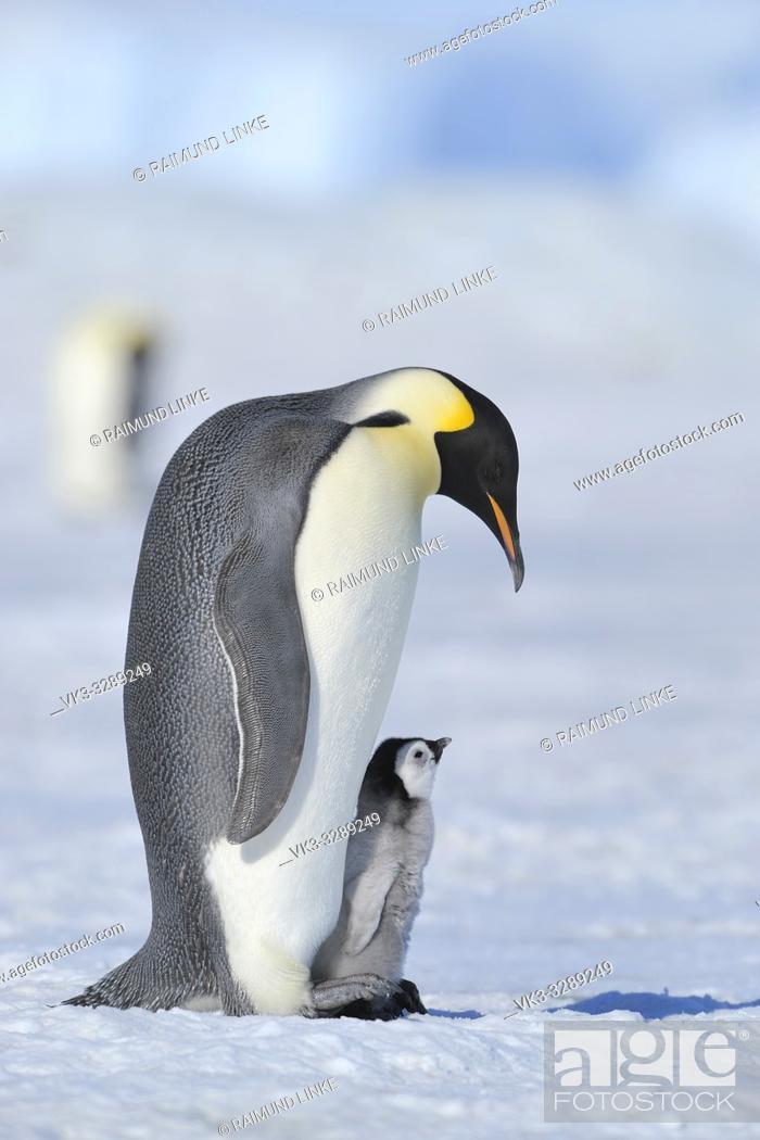 Imagen: Emperor penguins, Aptenodytes forsteri, Adult Protecting her Chick on her Feet, Snow Hill Island, Antartic Peninsula, Antarctica.