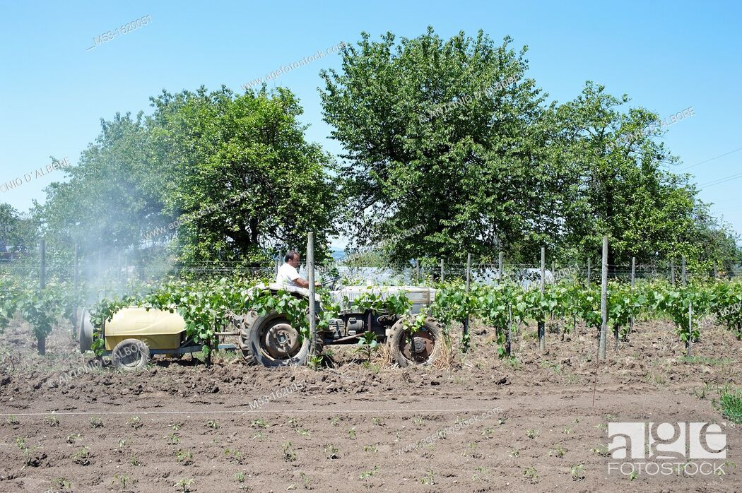 Stock Photo: A farmer driving an agricultural tractor linked to a fertilizer spreader  It spray a mixture of sulfur and water over a grapevines plantation  Sant'Agata dei.