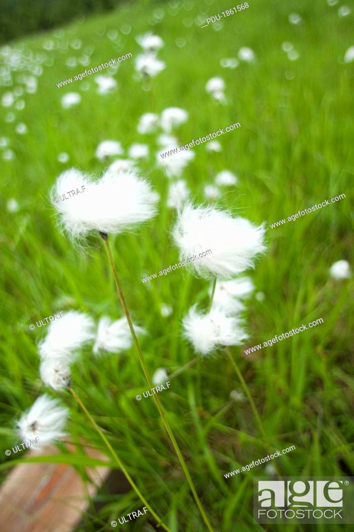 Stock Photo: Eriophorum vaginatum.