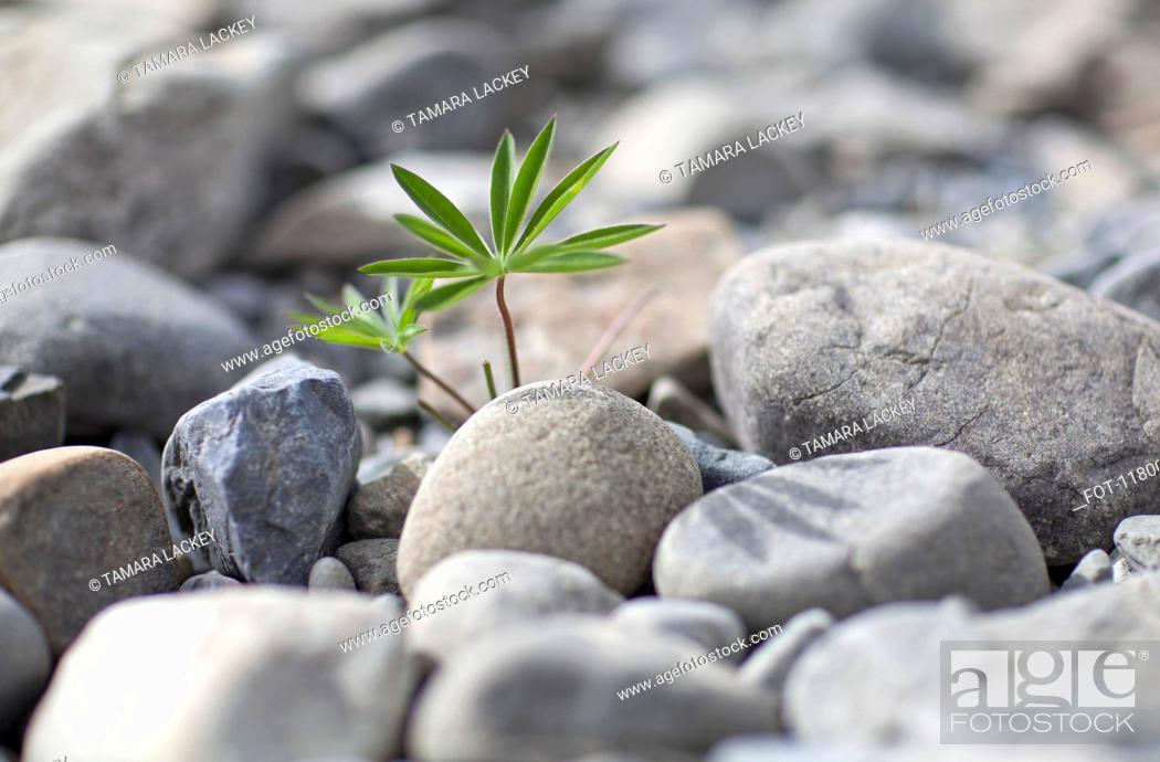Stock Photo: An uncultivated plant growing amongst a heap of rocks, close-up.