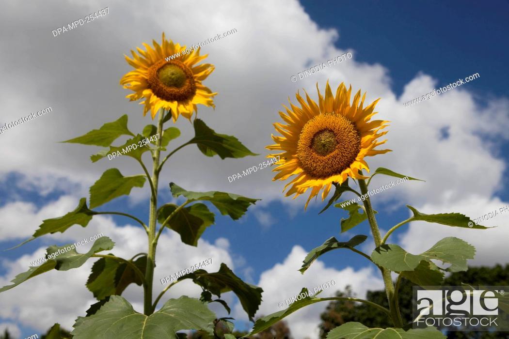 Stock Photo: Sunflower, india, asia.