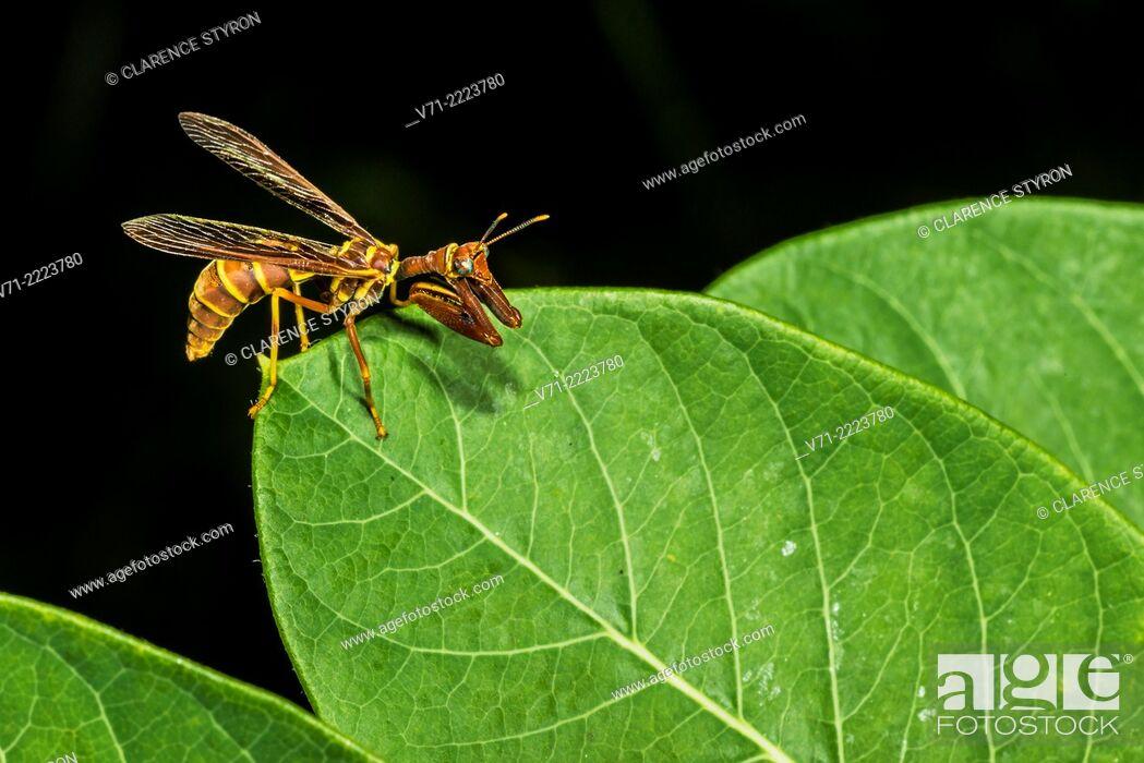 Stock Photo: Mantidfly (Climaciella brunnea) Preening and Hunting on Indian Hemp (Apocynum cannabinum) Leaf.
