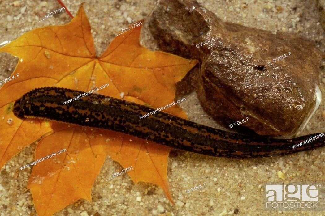 Imagen: Leech in shallow water next to a stone and a leaf.