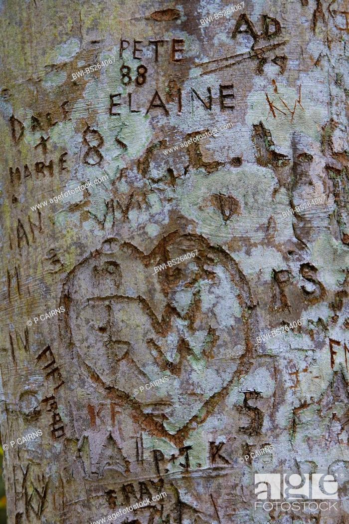 common beech Fagus sylvatica, carved names and a heart in a tree
