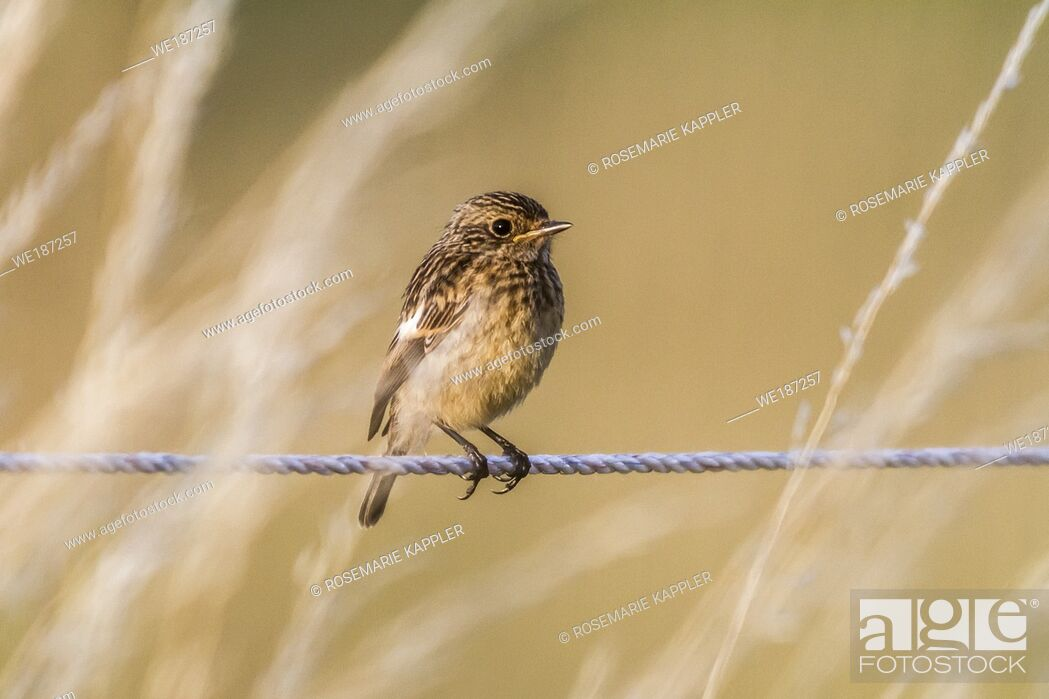 Stock Photo: An european stonechat on a grass-stock. Germany.