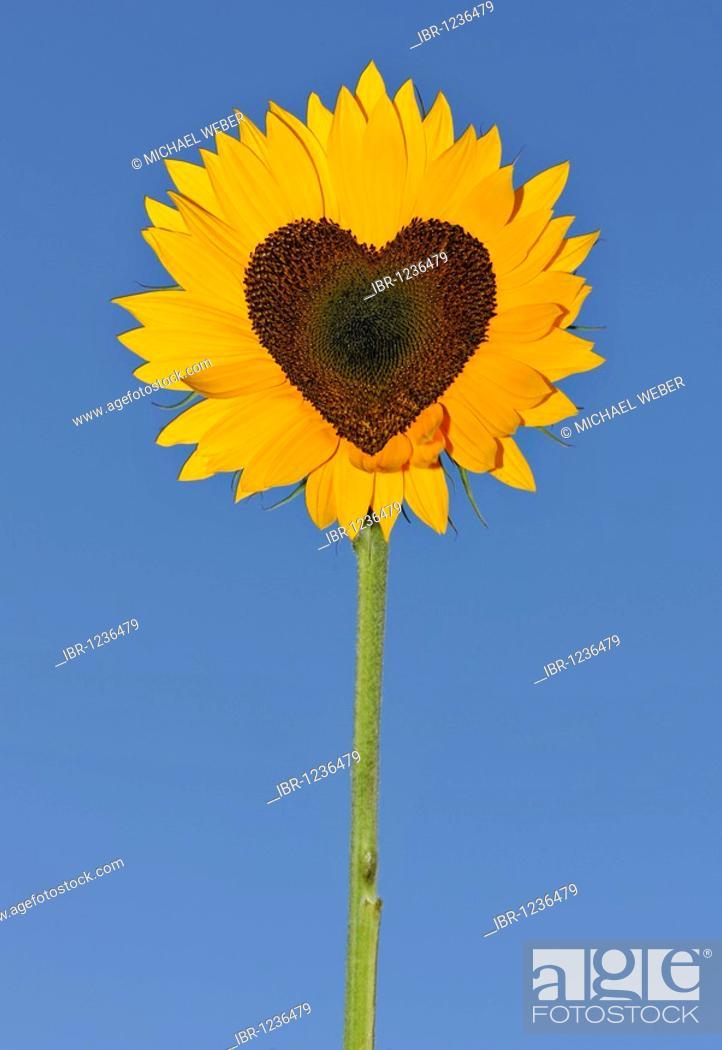 Sunflower Helianthus Annuus With