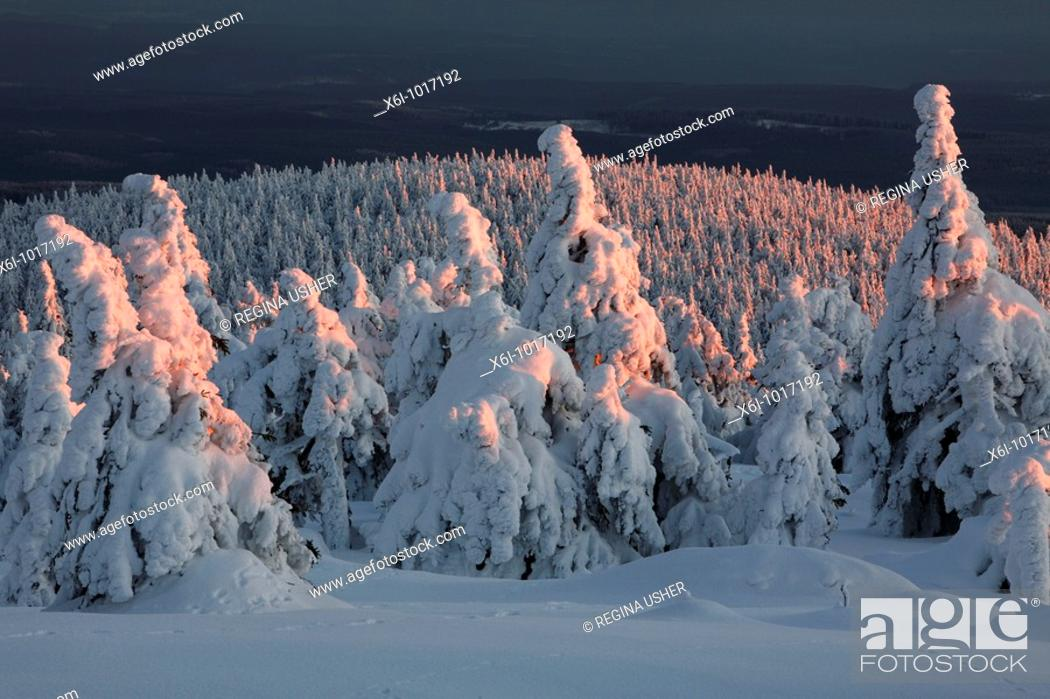 Stock Photo: Snow covered Norway Spruce trees, Picea abies, in winter, Brocken mountain, National Park Hochharz, Saxony-Anhalt, Germany.