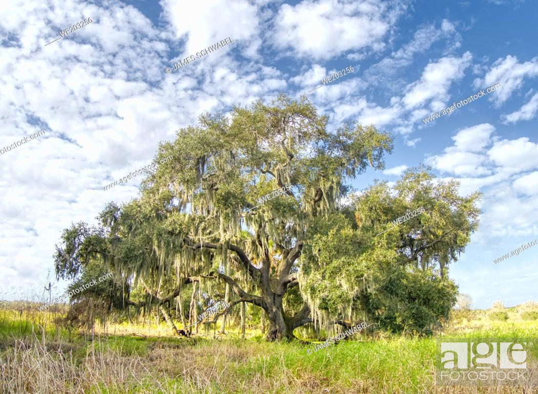 Imagen: Single Live Oak tree with hanging Spanish Moss in Myakks River State Park in Sarasota Florida USA.