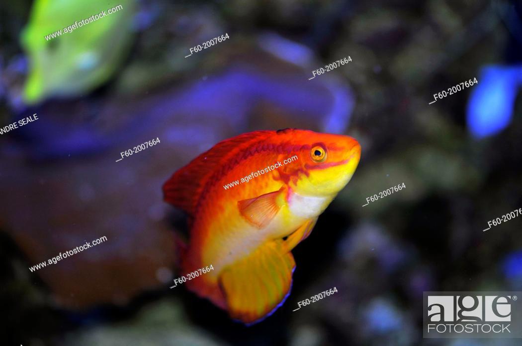 Stock Photo: Flame wrasse, Cirrhilabrus jordani, captive, Maui Ocean Center, Maui, Hawaii, USA.