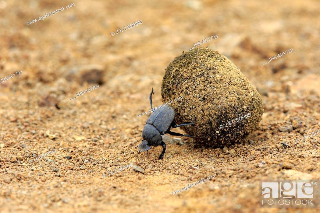 Stock Photo: Dung Beetle, (Scarabaeus sacer), adult rolls elephant dung for egg deposition, Isimangaliso Wetland Park, Kwazulu Natal, South Africa, Africa.