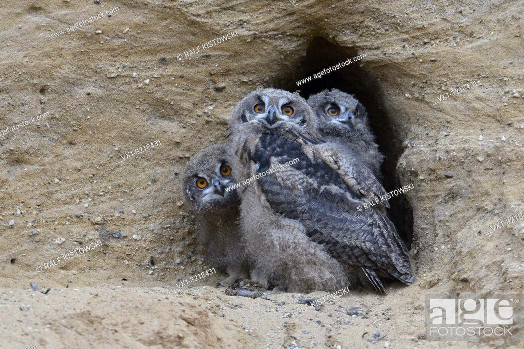 Stock Photo: Eurasian Eagle Owls / Europaeische Uhus ( Bubo bubo ), three chicks in the entrance of their nesting burrow, cute and funny wildlife, Europe.