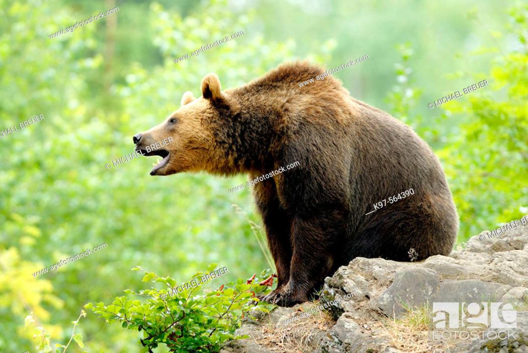 Stock Photo: Brown Bear (Ursus arctos), Germany.