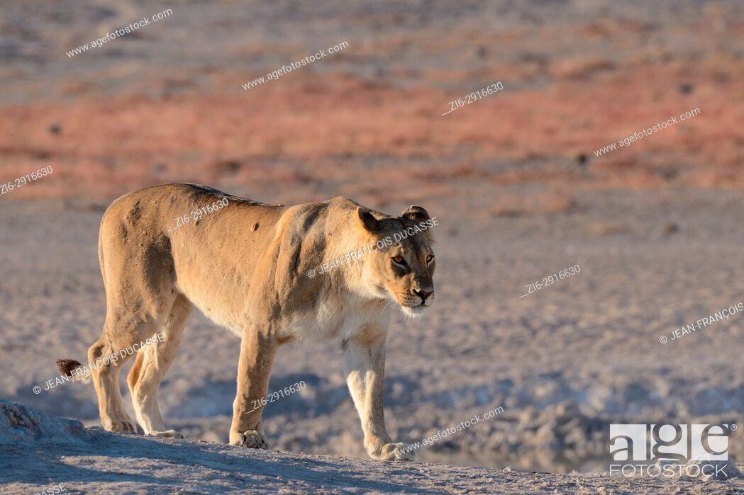 Stock Photo: Lioness (Panthera leo) at a waterhole, walking, morning light, Etosha National Park, Namibia, Africa.