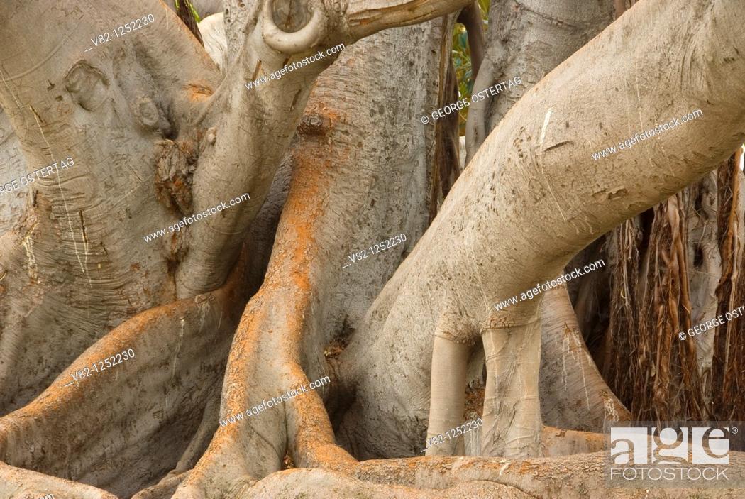 Stock Photo: Moreton Bay Fig Tree Ficus macrophylla, Balboa Park, San Diego, CA.