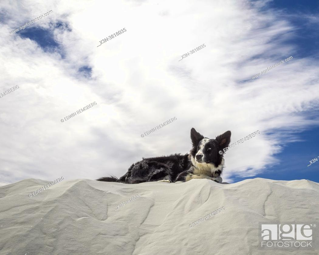 Stock Photo: Border collie dog sitting on top of sand dunes at White Sands National Park, New Mexico, New Mexico.