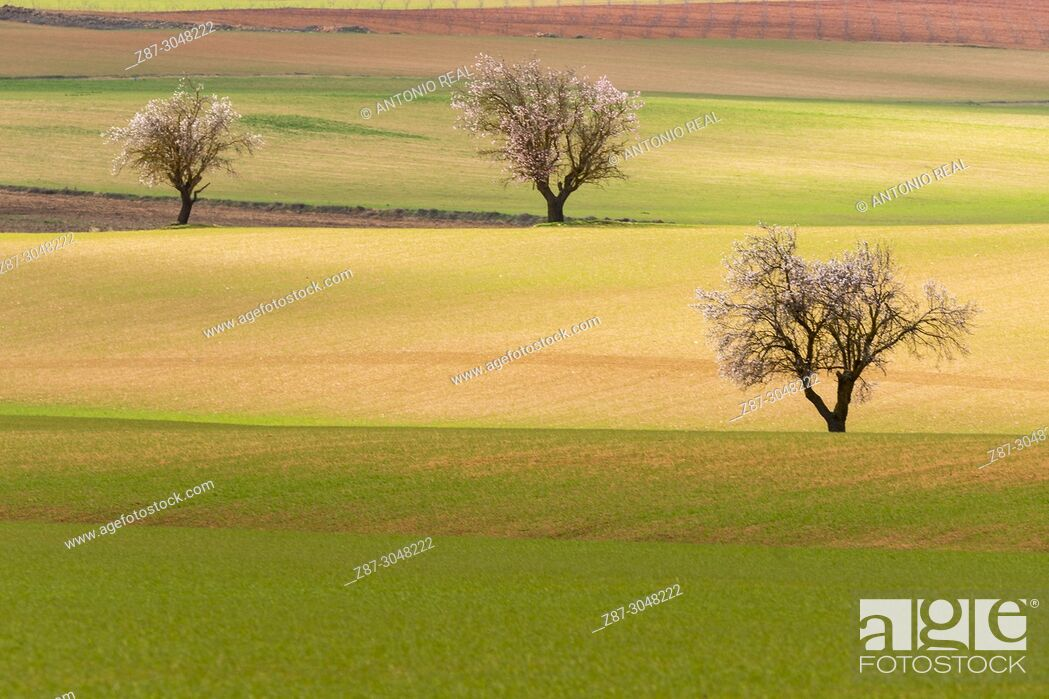 Stock Photo: Almond trees in bloom and green fields. Corral Rubio. Albacete province. Spain.