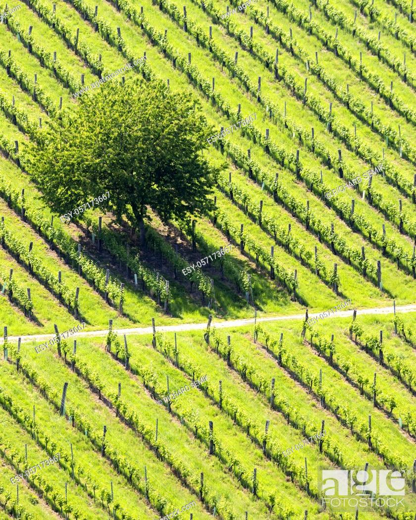 Stock Photo: vineyard at the Austrian Slovenian border in Styria.