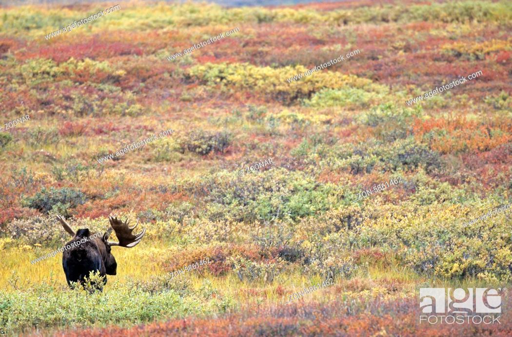 Stock Photo: Elchschaufler in der herbstlichen Tundra - (Alaska-Elch) / Bull Moose in indian summer in the tundra - (Alaska Moose) / Alces alces (gigas).