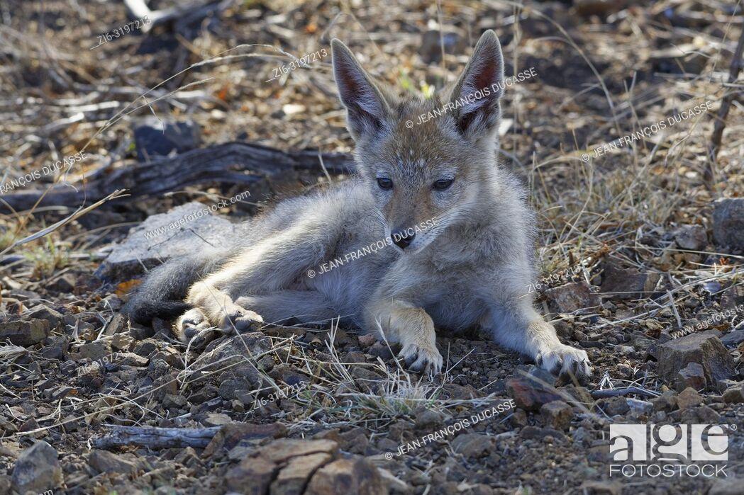 Imagen: Black-backed jackal (Canis mesomelas), cub, lying on arid ground, alert, Kruger National Park, South Africa, Africa.